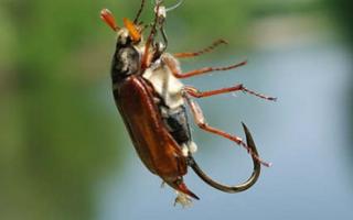 Ловля голавля на майского жука: техника ловли, оснастка, снасть