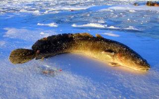 Ловля налима зимой: на жерлицы, донки, блесны, обзор насадок