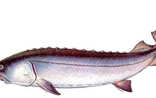 Рыба белуга: внешний вид, масса, ареал обитания, охранный статус