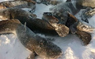 Ловля налима в декабре: на блесну и жерлицы, тактика ловли