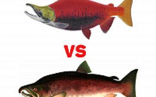 Икра кеты или кижуча — какая красная икра лучше? чем отличается?
