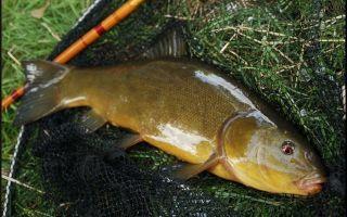 Ловля линя на поплавочную удочку: оснастка, прикормка и наживки