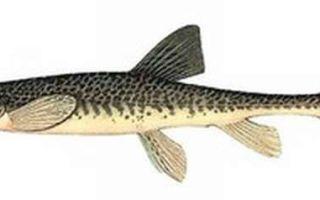 Рыба семейства вьюновых: виды, описание, сред обитания, промысел
