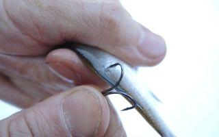 Насадка живца — как правильно насадить живца крючек