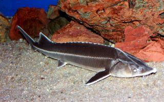 Осетровые виды рыб с названиями и фото, список самых популярных