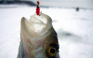 Ловля окуня по первому льду: снасти, техника ловли, безмотелка и балансир