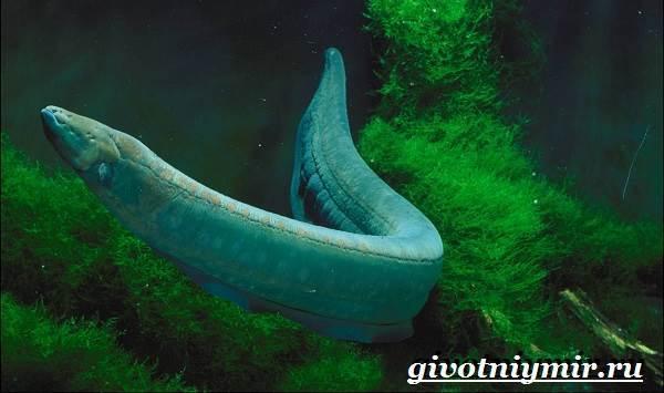 Угорь: описание рыбы, виды угрей, среда обитания, размножение