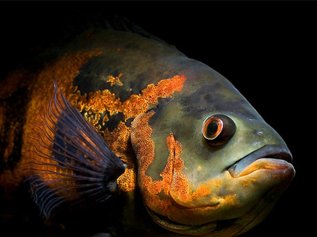 Астронотусы: описание, содержание и уход в аквариуме, размножение