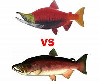 Икра кеты или кижуча - какая красная икра лучше? чем отличается?