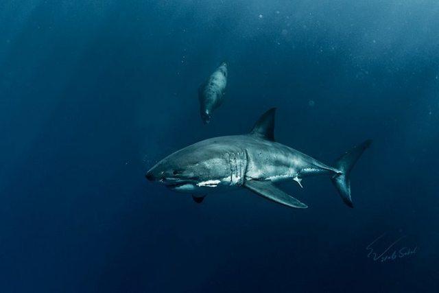 Шелковая акула: описание, где водится, чем питается, враги