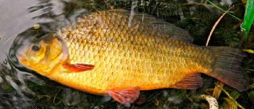 Сколько живет карась в водоемах и на реках