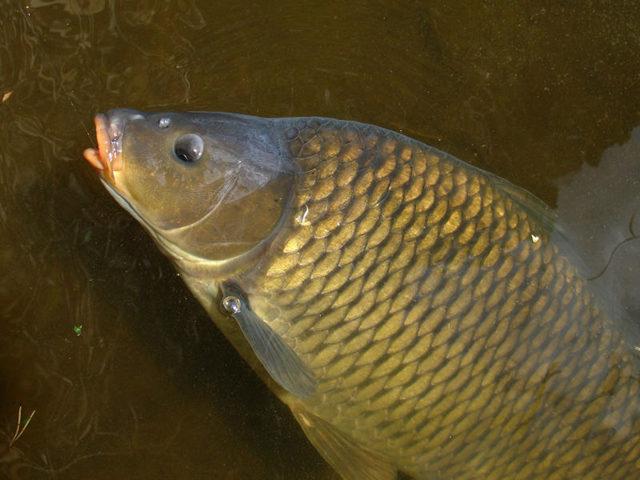 Мамалыга для рыбалки рецепт приготовления