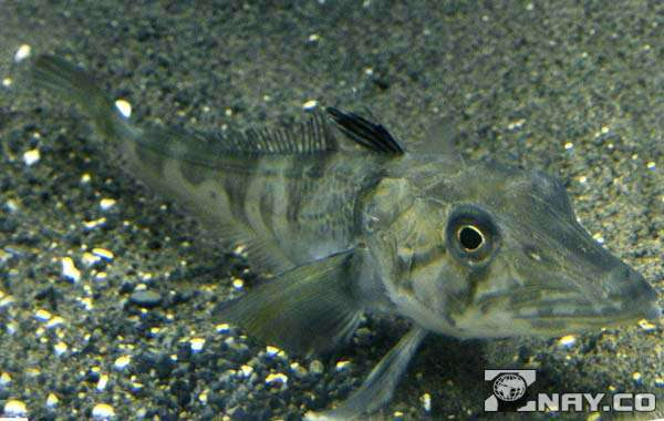Ледяная рыба: описание с фото, где обитает, чем питается