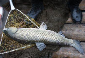 Ловля белого амура на огурец, техника ловли
