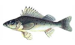 Рыбы Сибири и Дальнего Востока России: описание с фото, рыбалка