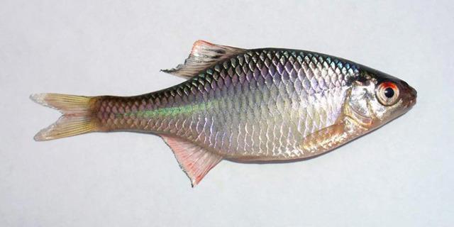 Рыба горчак: внешний вид, среда обитания, рыбалка на горчака