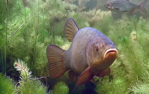 Линь: описание рыбы, места обитания, что ест, популяция