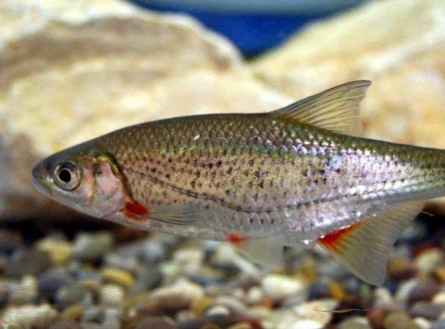 Быстрянка: описание рыбы с фото, где обитает, виды