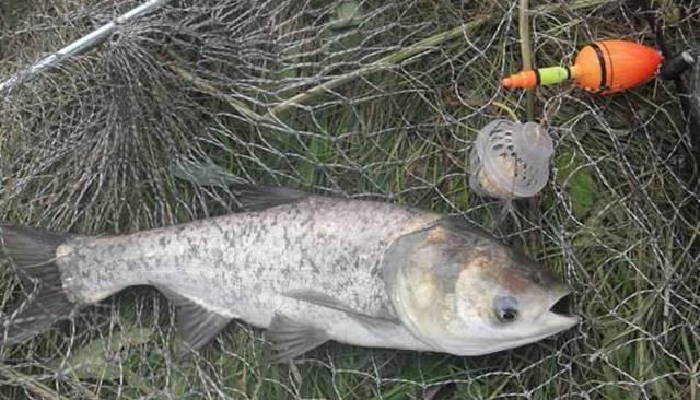 Ловля толстолоба со дна: на что ловить и где ловить