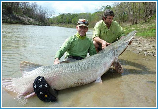 Аллигаторовая щука: описание, среда обитания, рыбалка