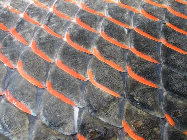 Арапаима: описание рыбы с фото, чем питается, сколько живет