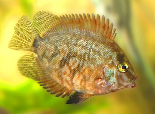 Агуаруна: описание, содержание и уход в аквариуме, совместимость