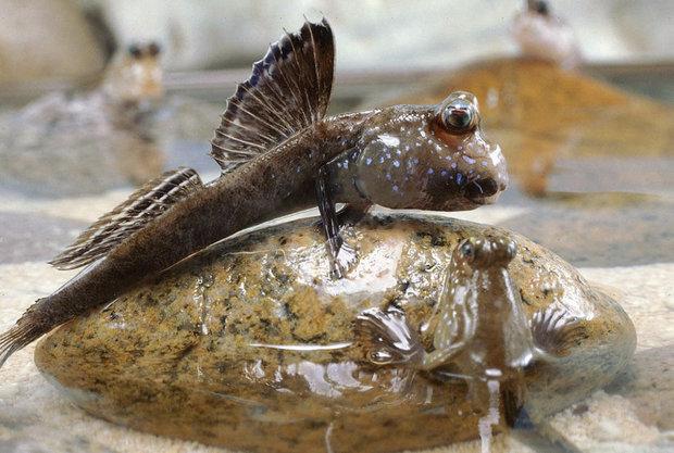 Илистые прыгуны: описание рыбы с фото, где водится, что ест