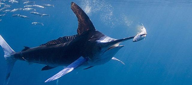 Меч-рыба: описание, где водится, чем питается, размножение
