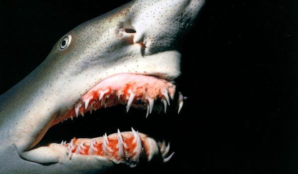 Акула-домовой (акула гоблин): описание, где водится, чем питается