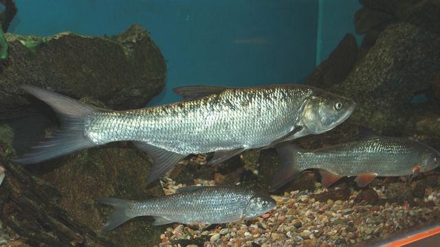 Жерех: описание рыбы, где водится, чем питается