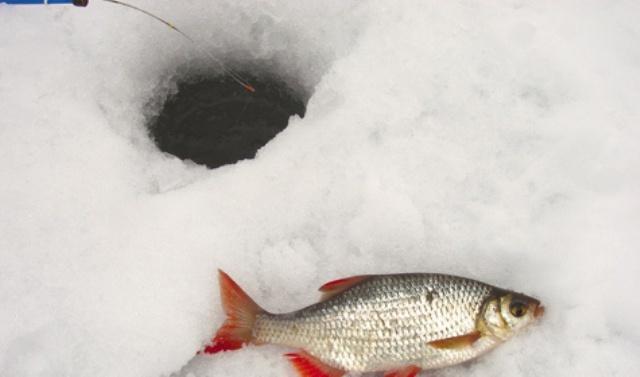Ловля краснопёрки зимой: снасти, прикормка и наживка, ловля на мормышку