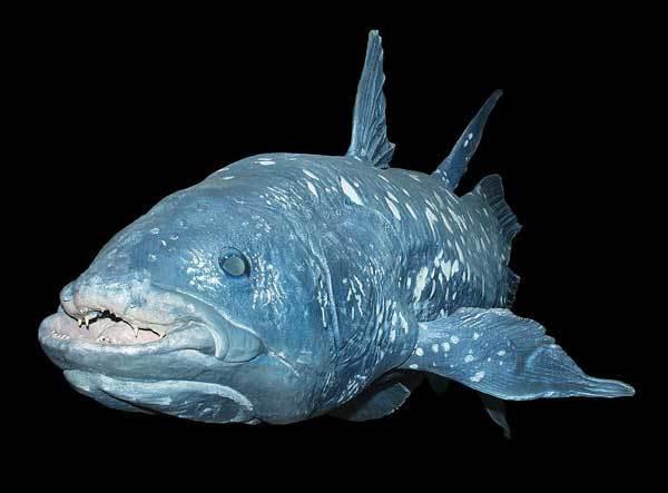Латимерия: описание рыбы, где обитает, чем питается, интересные факты