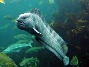 Рыба зубатка: описание, где водится, чем питается, виды