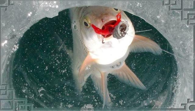 Рыба чехонь: где обитает, чем питается, фото и описание, на что ловить