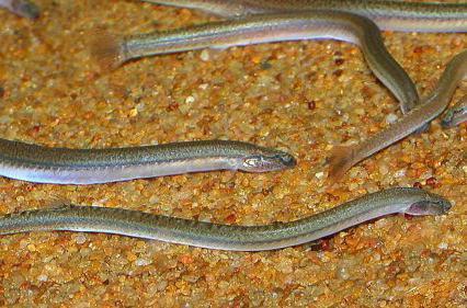 Рыба сайка: описание, где водится, чем питается, размножение