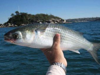 Рыба Лобань: как и где ловить, вкусные рецепты, польза и вред