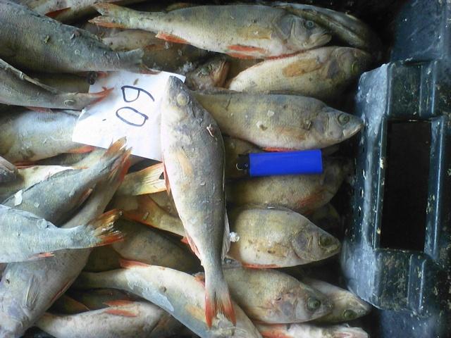 Рыба берш: описание, отличие от судака, рецепты приготовления