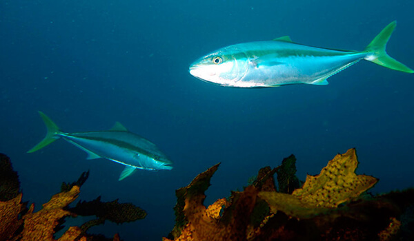Рыба лакедра (желтохвост): описание с фото, где водится, чем питается