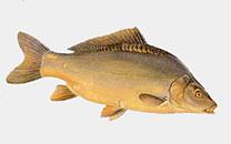 Карп: описание рыбы, среда обитания, виды карпов, чем питается