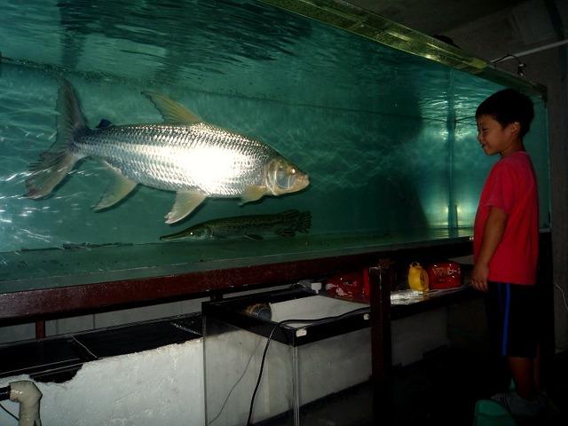 Тигровая рыба голиаф: места обитания, чем питается, рыбалка
