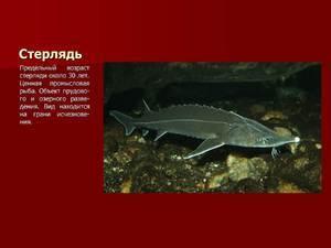 Стерлядь: описание рыбы, места обитания, что ест, нерест