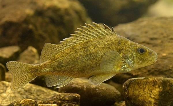 Ёрш: описание рыбы, как выглядит, на что клюет, где обитает