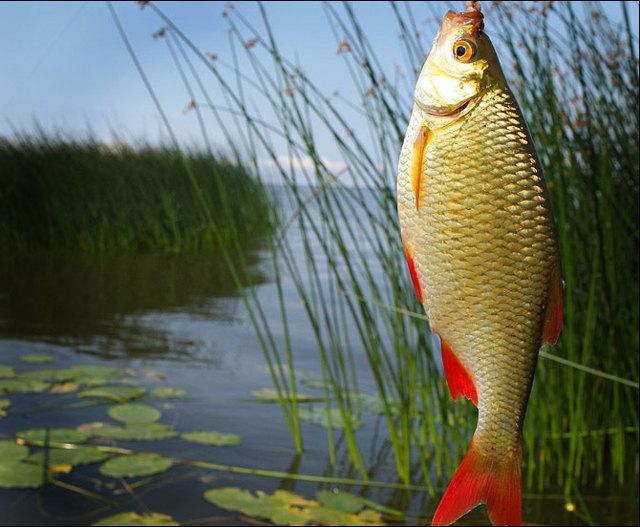 Ловля красноперки на поплавочную удочку и спиннинг, весной и летом