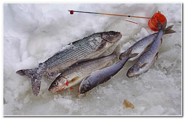 Ловля сига зимой: снасти, наживка и прикормка, техника ловли