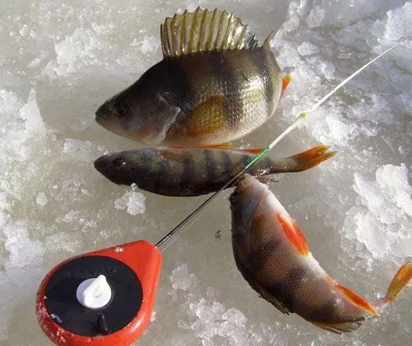 На что, как ловить окуня зимой: техника ловли, зимние приманки