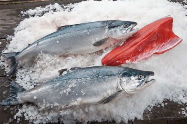 Сёмга (Атлантический лосось): описание рыбы, где обитает, чем питается, сколько живет