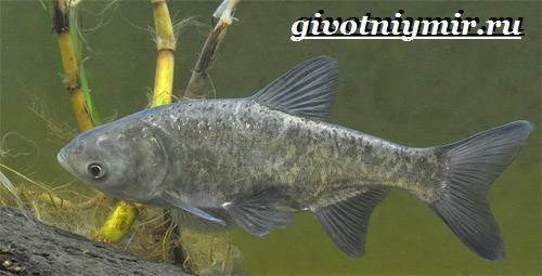 Толстолобик: описание рыбы, среда обитания, виды, что ест