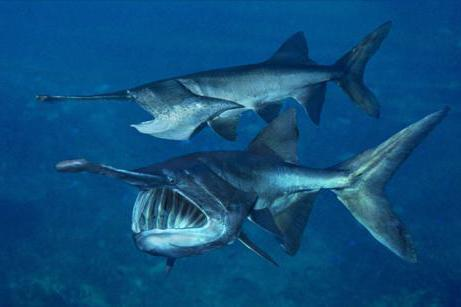 Рыба веслонос: фото и описание,  среда обитания, рыбалка, рецепты