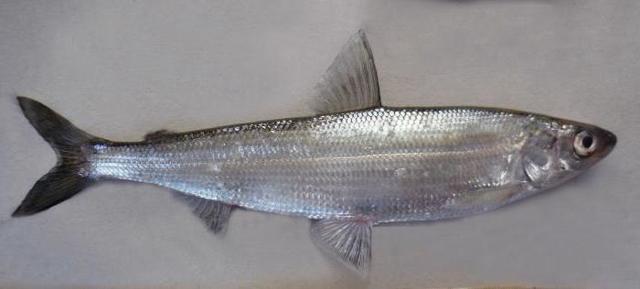 Рыба рипус: описание, среда обитания, рыбалка, рецепты приготовления