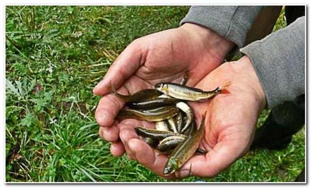 Ловля гольяна: снасти, наживки и техника ловли
